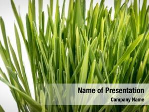 Grass fresh wheat white growing