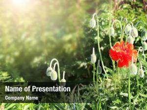 Poppy sunny spring flower flowerbed