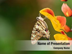 Papilio beautiful butterfly pilumnus tropical