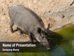 Wild boar (Sus scrofa), also known as the wild swine or Eurasian wild pig