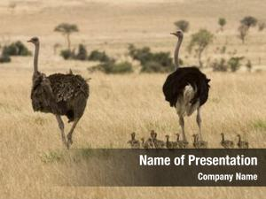 Family of Ostriches on Savanna