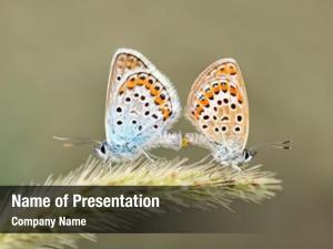 Mating butterflies in spring in nature macro