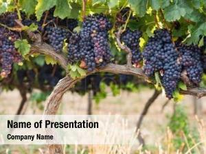 Shrub grapes before harvest