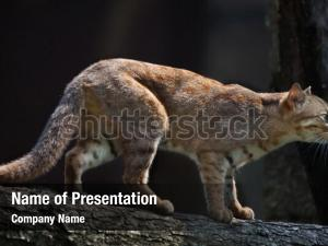 Rusty spotted cat powerpoint background