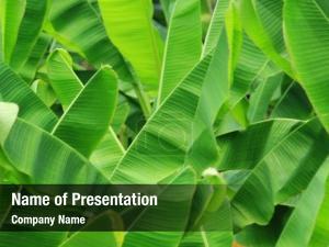 Banana leaf -