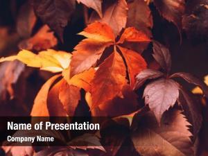 Close up of Autumn Virginia Creeper leaves, Macro of Autumn Wild Grape leaves, Colorful Leaves Of Creeper Plant As Fall Season Halloween