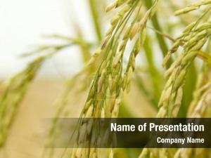 Rice plant-