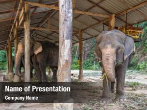 Asian elephant in elephant camp on Koh Chang island, Thailand