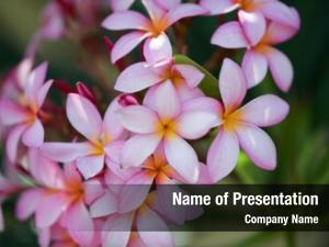 Plumeria flower pink and white frangipani tropical flower, plumeria flower blooming on tree