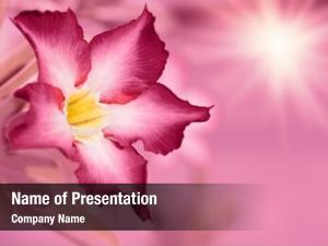 Desert rose-