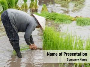 Rice Planting-