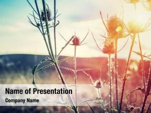 Thistle on sunset, thorny weed growing on wild field, beauty of wild nature, amazing landscape, autumn season
