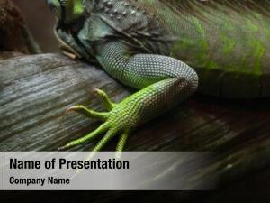 Iguana foot green (iguana iguana)