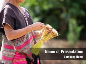 Transplant asian farmer rice seedlings