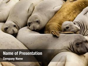 Seals family elephant