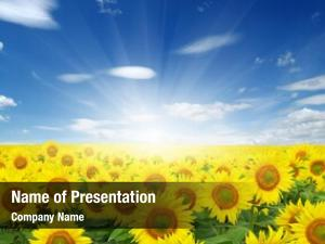 Sun field sunflowers blue sky