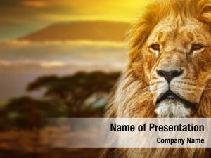 Savanna lion portrait landscape mount