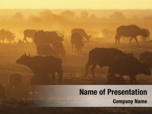 (syncerus cape buffalo caffer) grazing