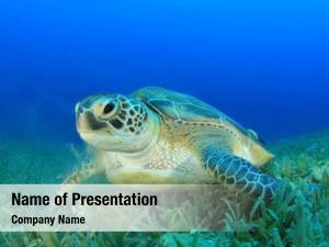 Turtle (green sea chelonia mydas)
