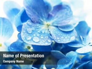 Hydrangea soft blue (hydrangea macrophylla)