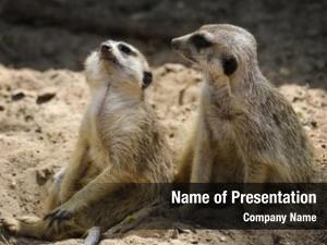 ,close two meerkats shot