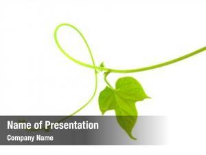 White vine leaf