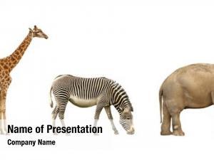 Giraffe, african animals: zebra elephant