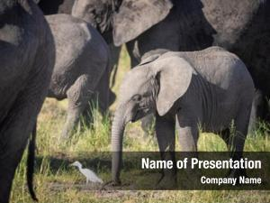 White baby elephant egret herd