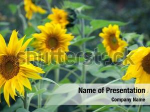 Efflorescence sunflower oil production