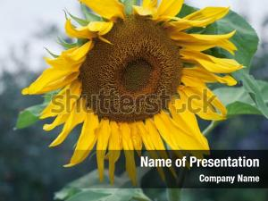 Renewable energy sunflower oil production