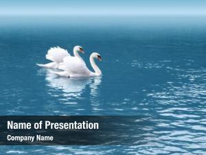 Swan two white