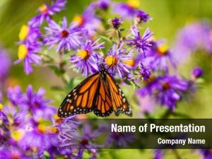 Feeding monarch butterfly purple aster