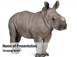 Rhinoceros young white square lipped rhinoceros
