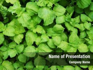 Plant green shiso perilla frutescens