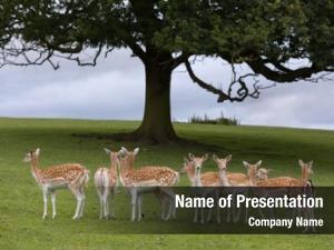 Chital axis deer deer india