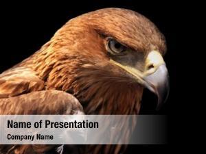 Black eagle portrait greater spotted