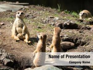 Small meerkat suricate carnivoran belonging