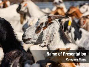 Botswana, herd goats southern africa,