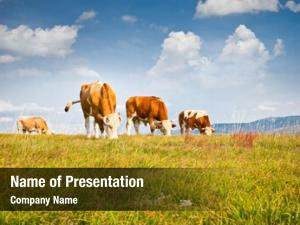 Ecological cows pasture environment, zlatibor