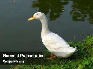 River duck near