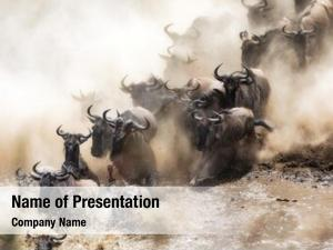 Mara wildebeest crossing river during