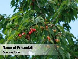 Tree cherry fruit