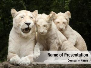 Lion female white two newborn