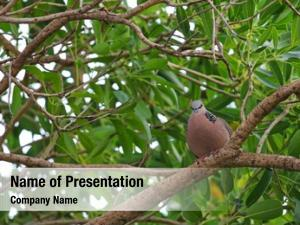(spotted spotted dove turtle dove)