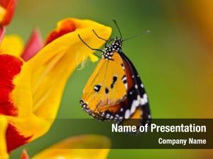 Butterfly(danaus plain tiger chrysippus), butterfly