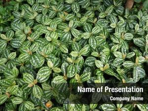 Decorative lush foliage plant pilea