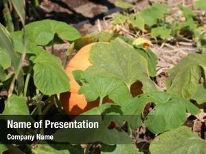 Pumpkin pumpkins growing patch