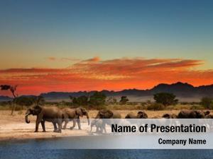 African herd elephants savanna sunset