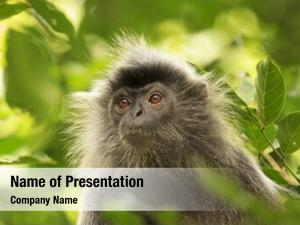 Monkey silvery lutung