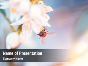 Pollinates little bee mandarin flowers,
